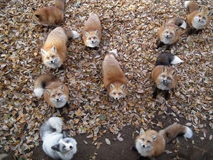 zao-fox-village-japan-34_R.jpg
